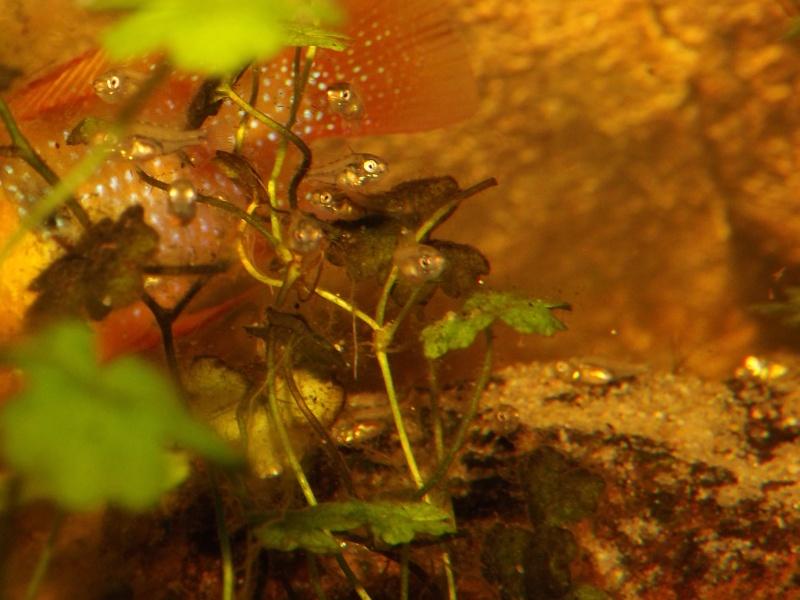 Mikrogeophagus ramirezi sauvages - Page 5 Alevi140