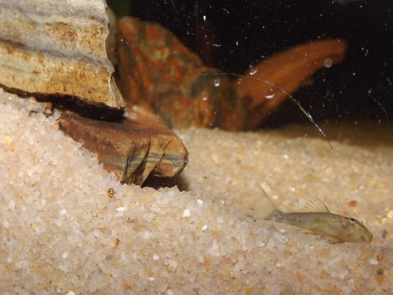Peckoltia vittata (sp L15) Alevi148