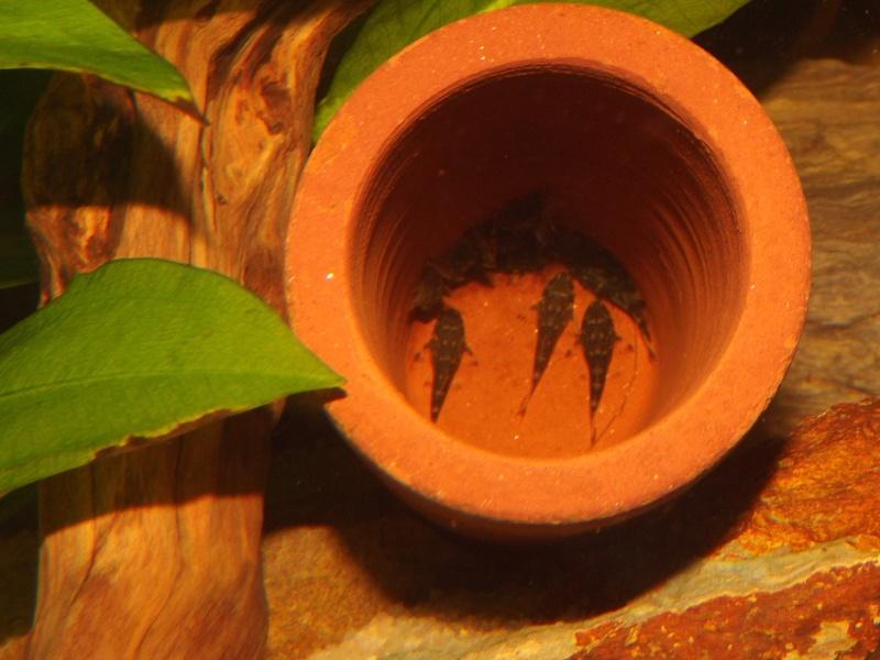 Peckoltia vittata (sp L15) Alevi154