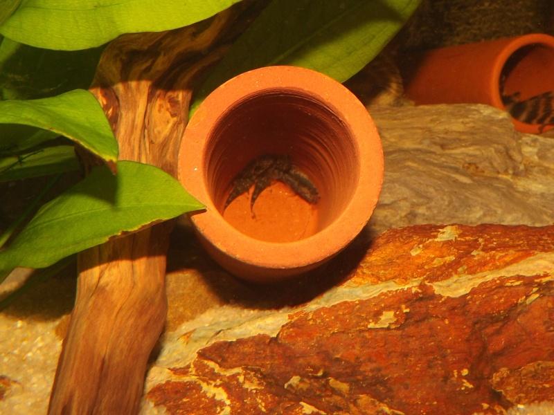 Peckoltia vittata (sp L15) Alevi155