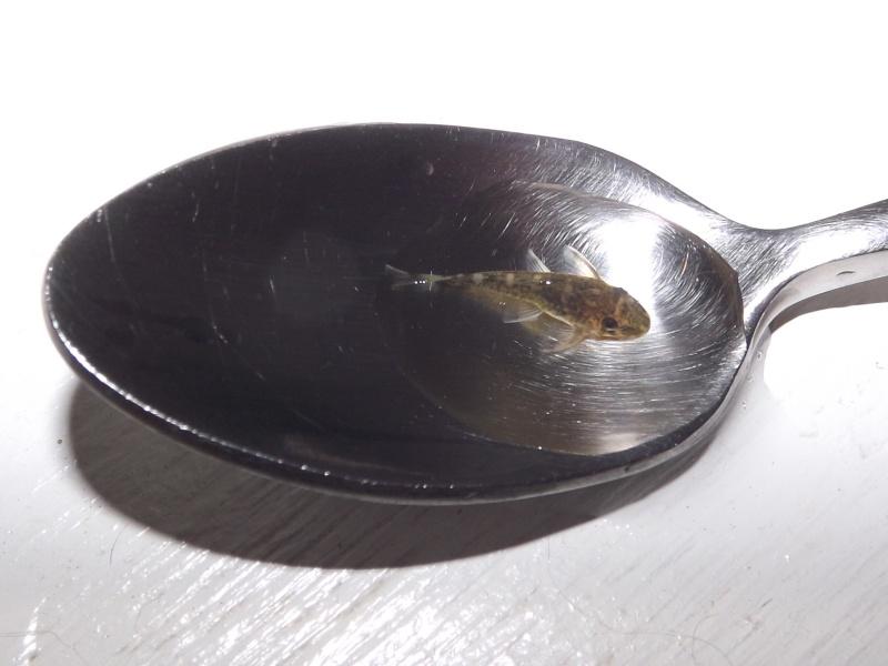 Peckoltia vittata (sp L15) Alevi156