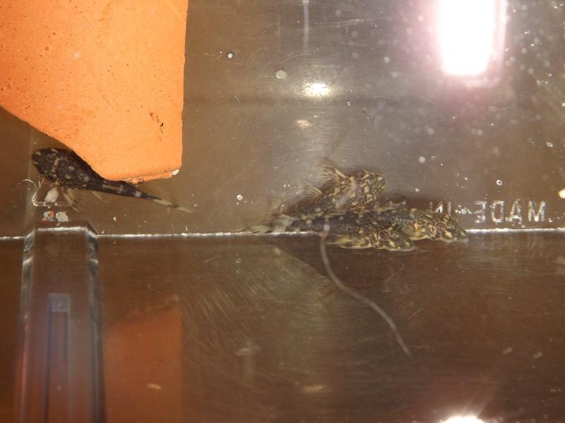 Peckoltia vittata (sp L15) Alevi159