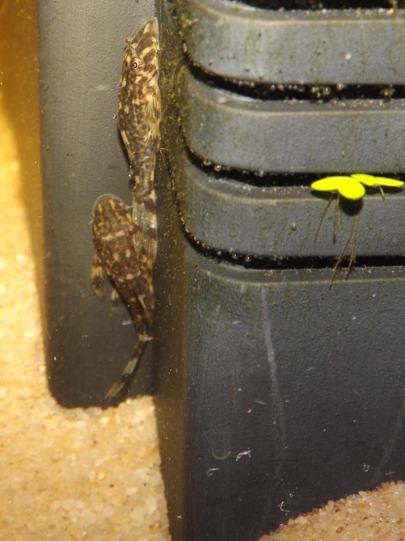 Peckoltia vittata (sp L15) Alevi163