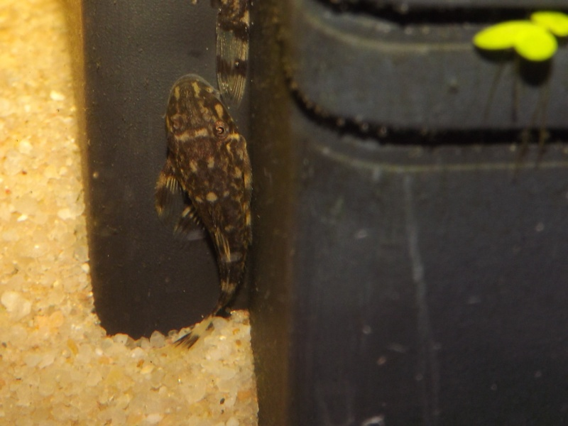 Peckoltia vittata (sp L15) Alevi166