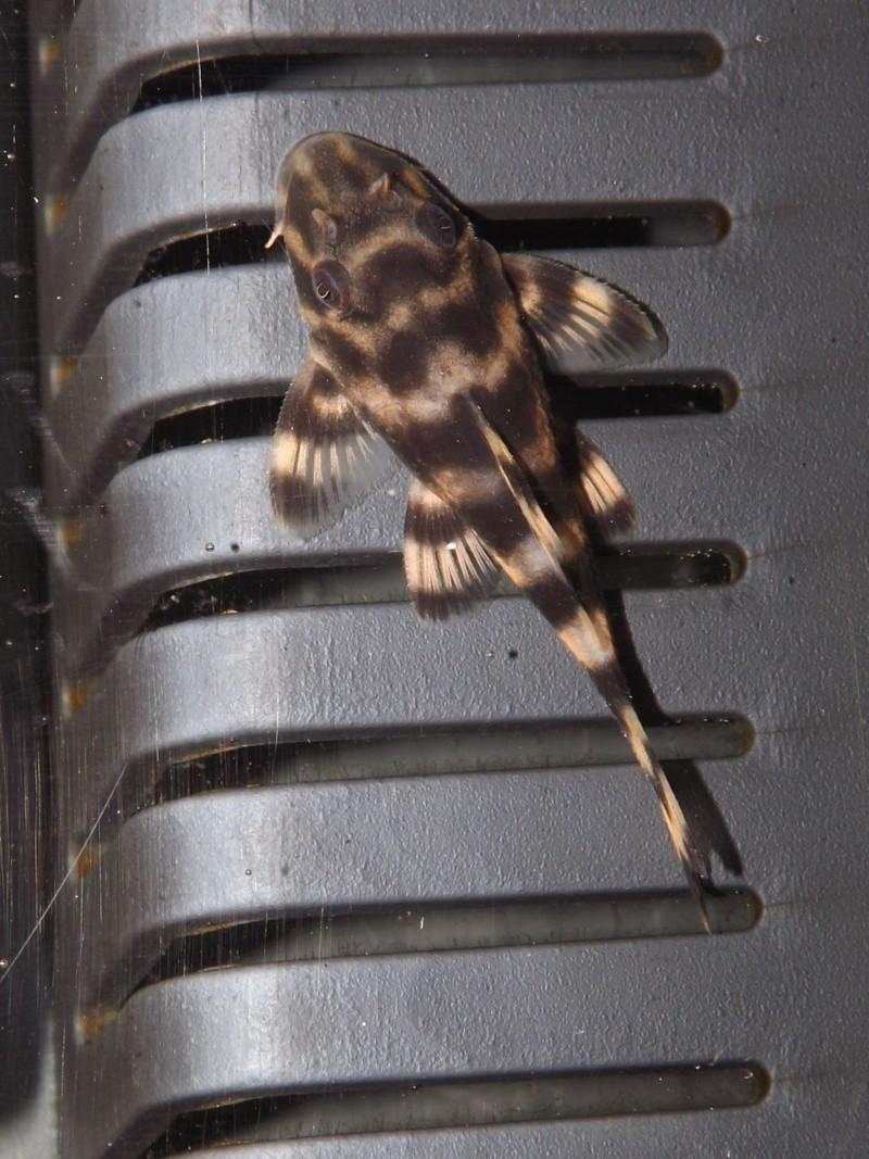 Peckoltia vittata (sp L15) Alevi192