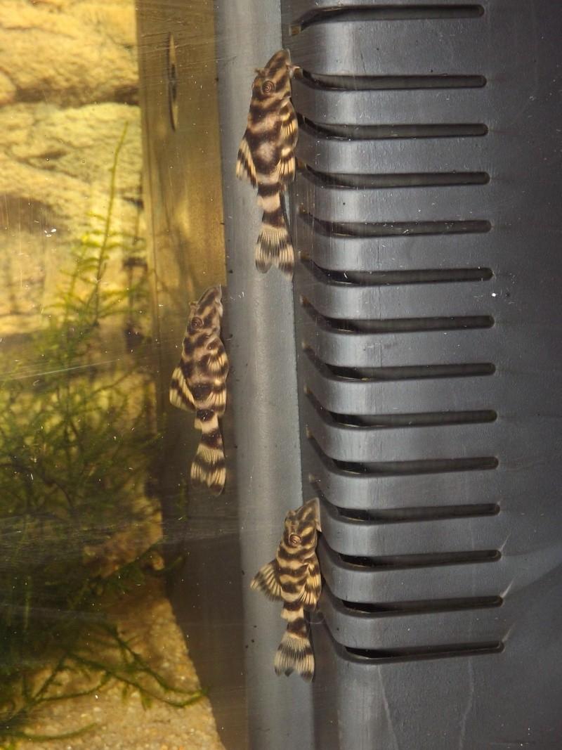 Peckoltia vittata (sp L15) Alevi193