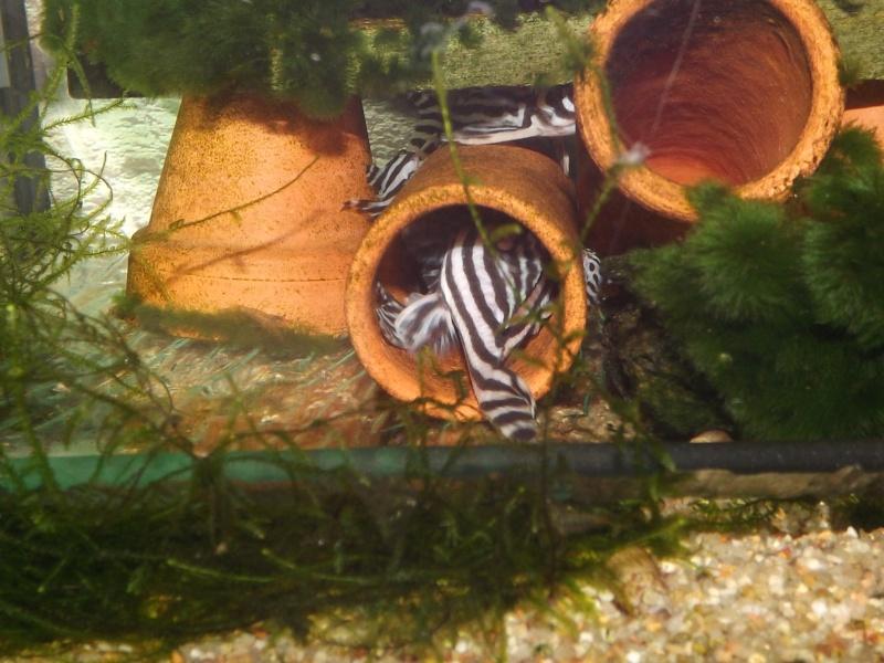 Bac spécifique pour la reproduction d'Hypancistrus zebra - Page 3 Alevin28
