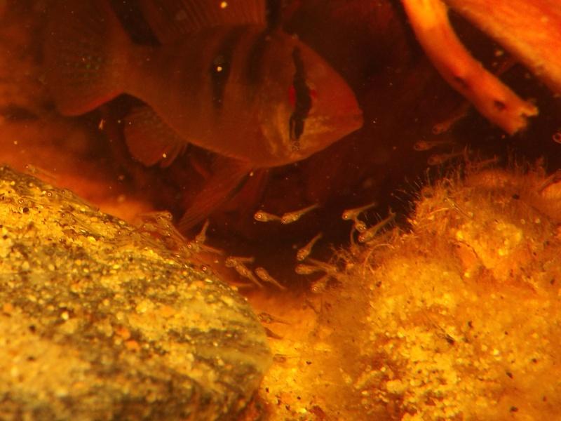 Mikrogeophagus ramirezi sauvages - Page 2 Alevin71