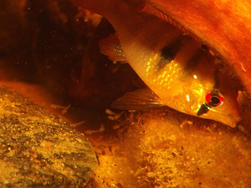 Mikrogeophagus ramirezi sauvages - Page 2 Alevin73