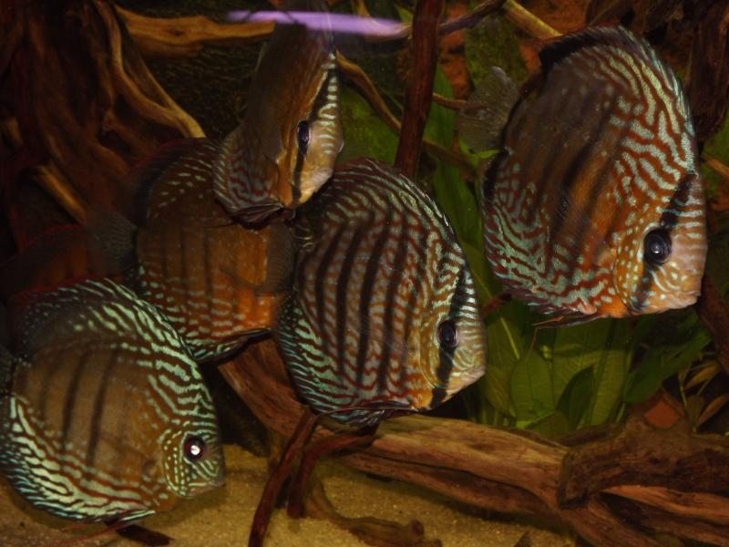Teleocichla sp Xingu III et T. centrarchus - Page 2 Bac_2711
