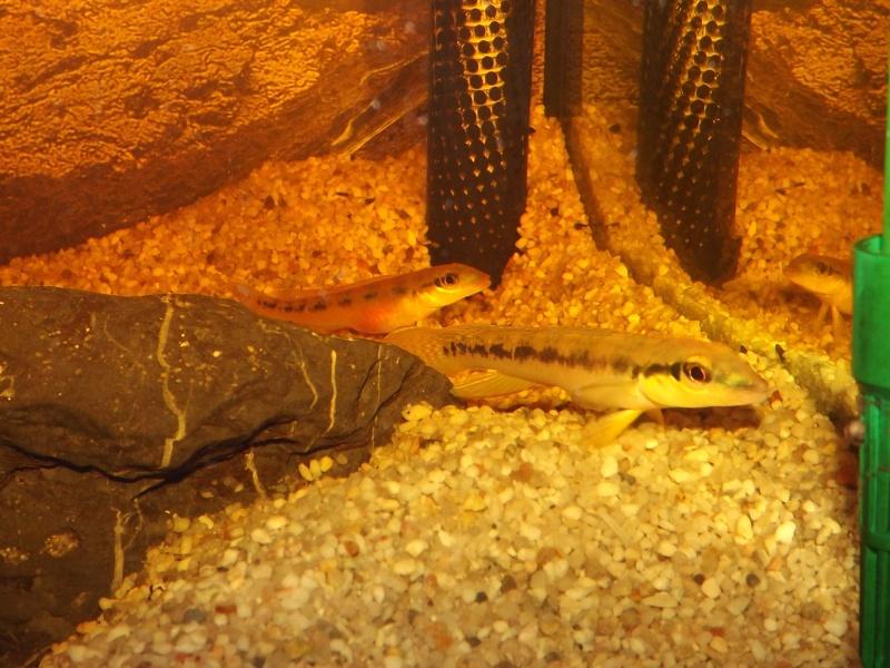 Teleocichla sp Xingu III et T. centrarchus Couple15