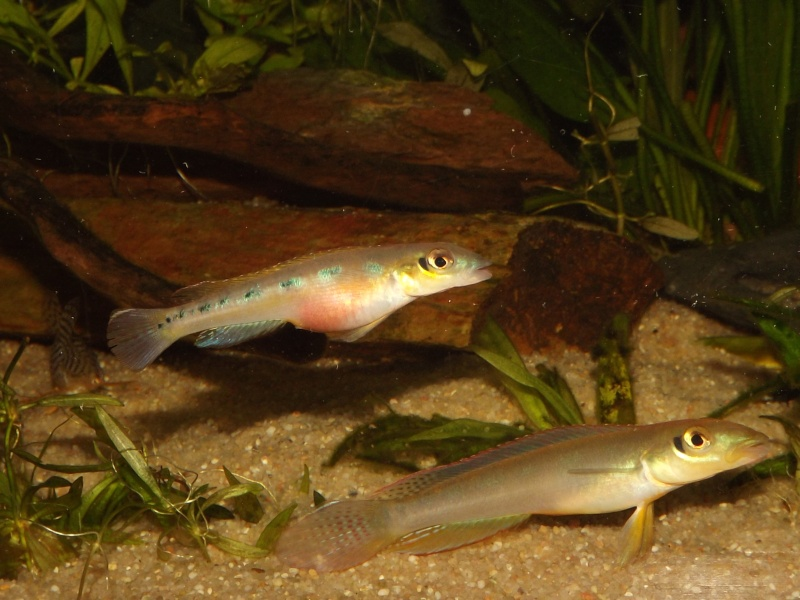 Teleocichla sp Xingu III et T. centrarchus - Page 2 Couple41