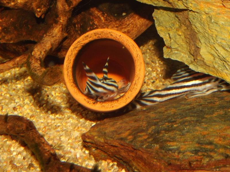Bac spécifique pour la reproduction d'Hypancistrus zebra - Page 3 Oeufs_15