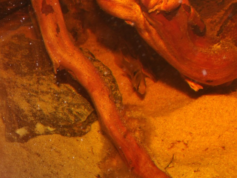Mikrogeophagus ramirezi sauvages - Page 2 Oeufs_25