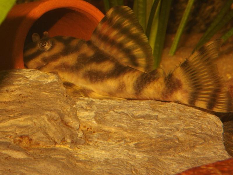 Peckoltia vittata (sp L15) Peckol12