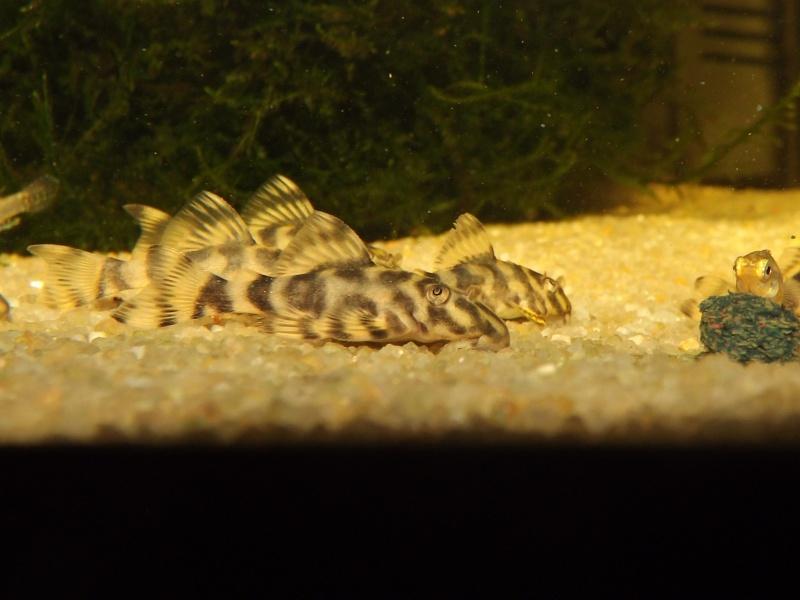 Peckoltia vittata (sp L15) Peckol15