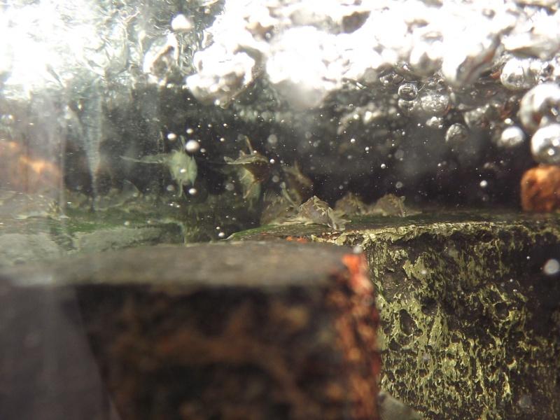 Peckoltia vittata (sp L15) Repro_20