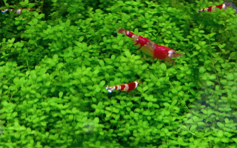 Red crystal shrimp planted tank P1030312