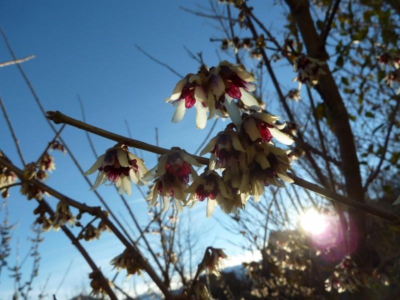 Winterblüher - Es blüht noch was im Garten P1080821