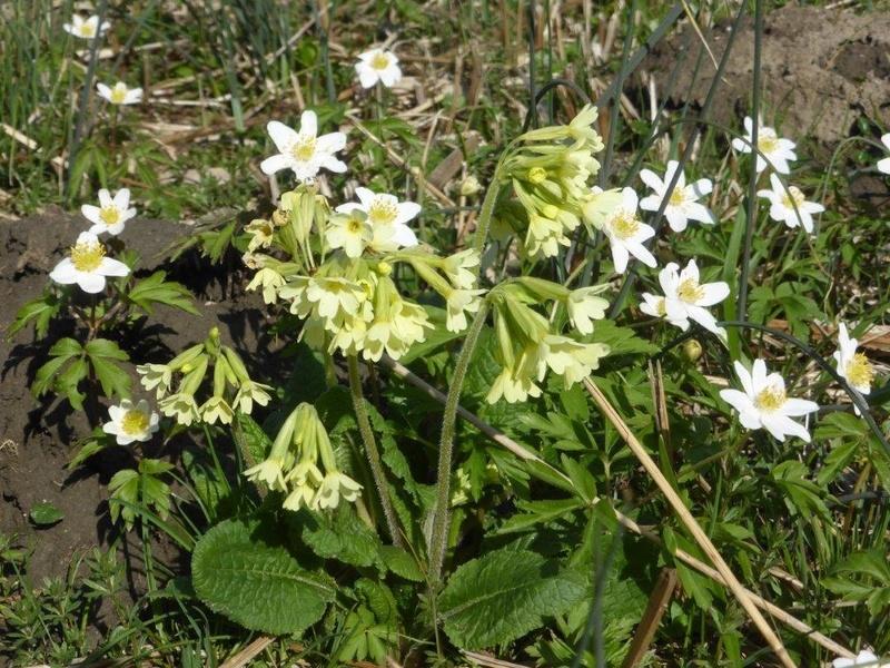 Erste Frühlingsboten im Garten und in Wald und Flur - Seite 48 P1180024