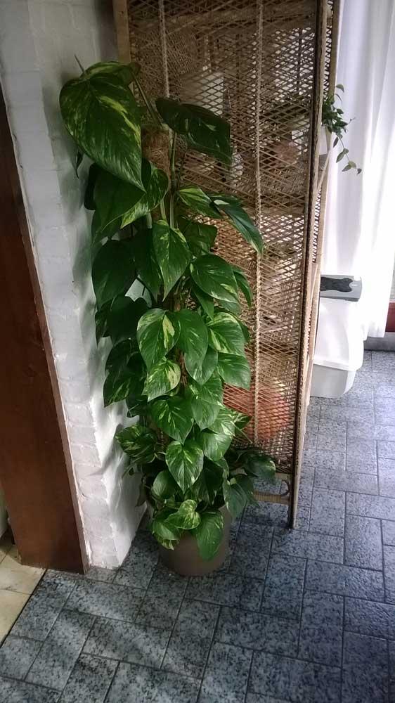 """quelle est cette plante ? pothos """"Epipremnum aureus"""" Pothos10"""
