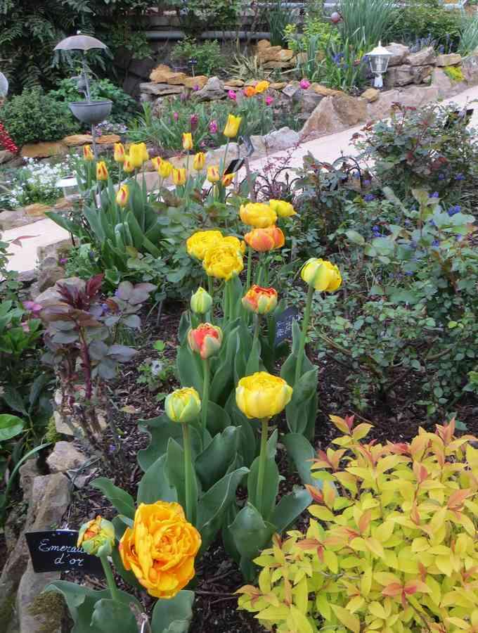 tulipes 2017 00913