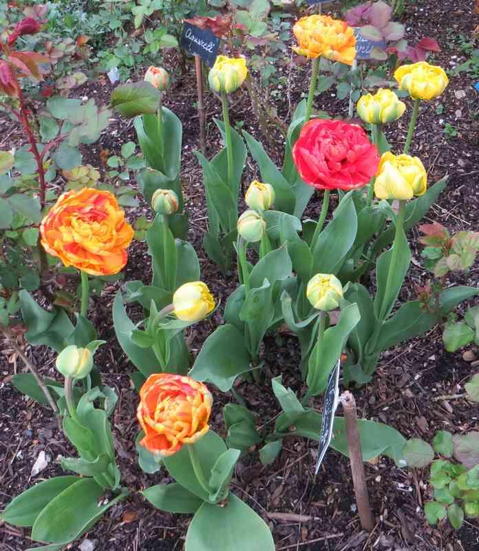 tulipes 2017 01013
