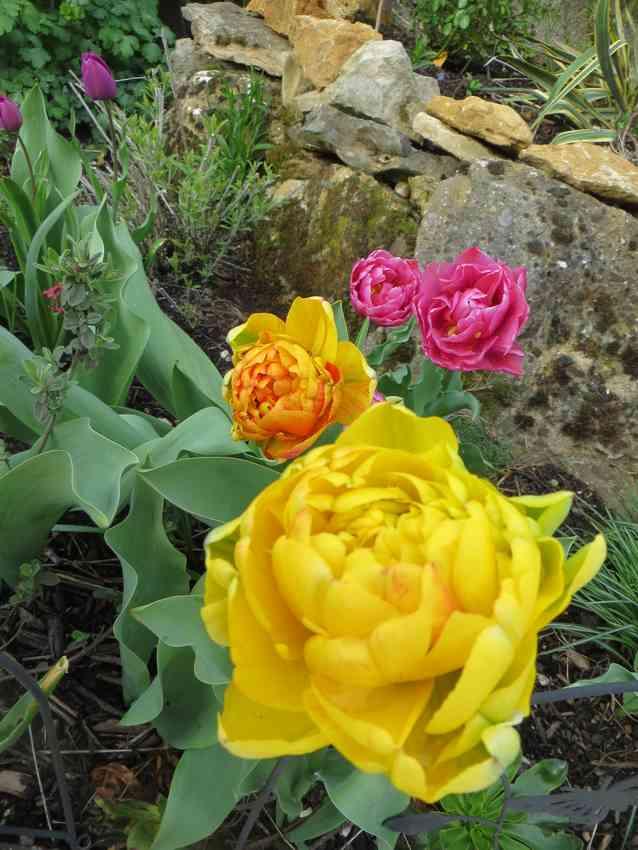 tulipes 2017 03610