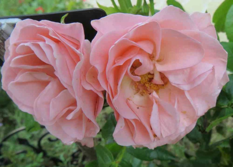 rosier bouquet de mariée - Page 2 Bouque10