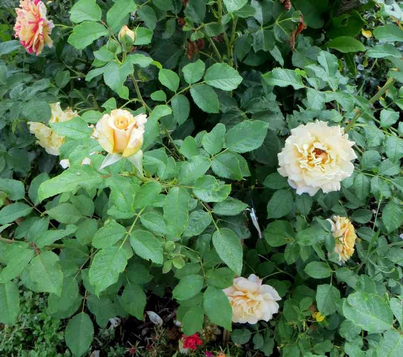 Rosa Caramella  - Page 2 Carame11