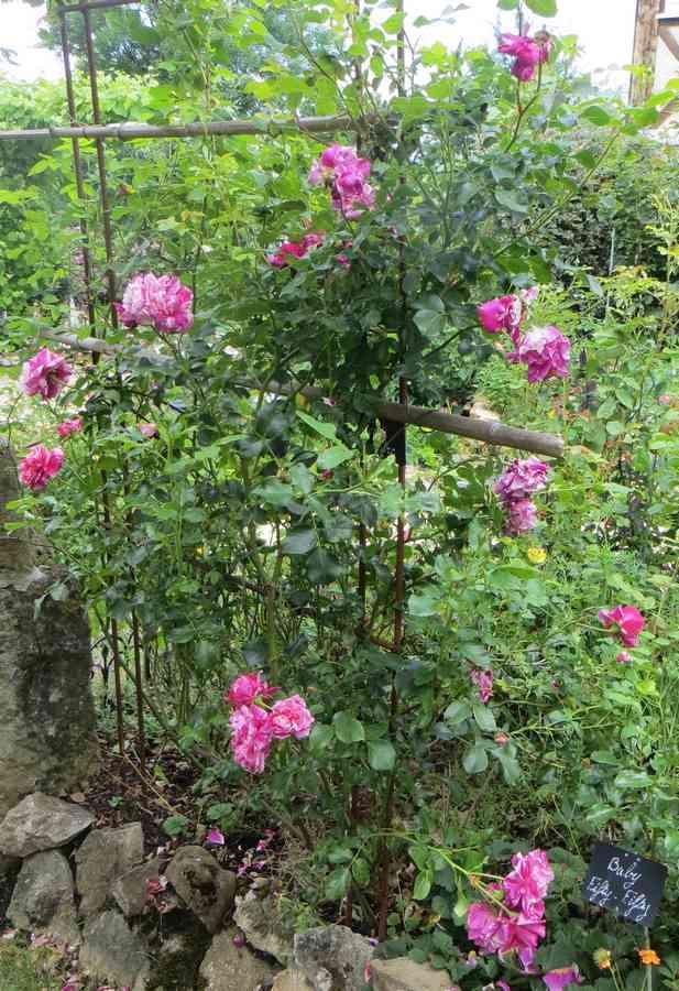 rosier grimpant Inès Sastre Inys_s10