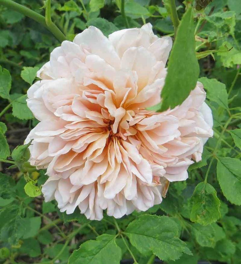 rosier Tea Clipper - Page 2 Tea_cl10