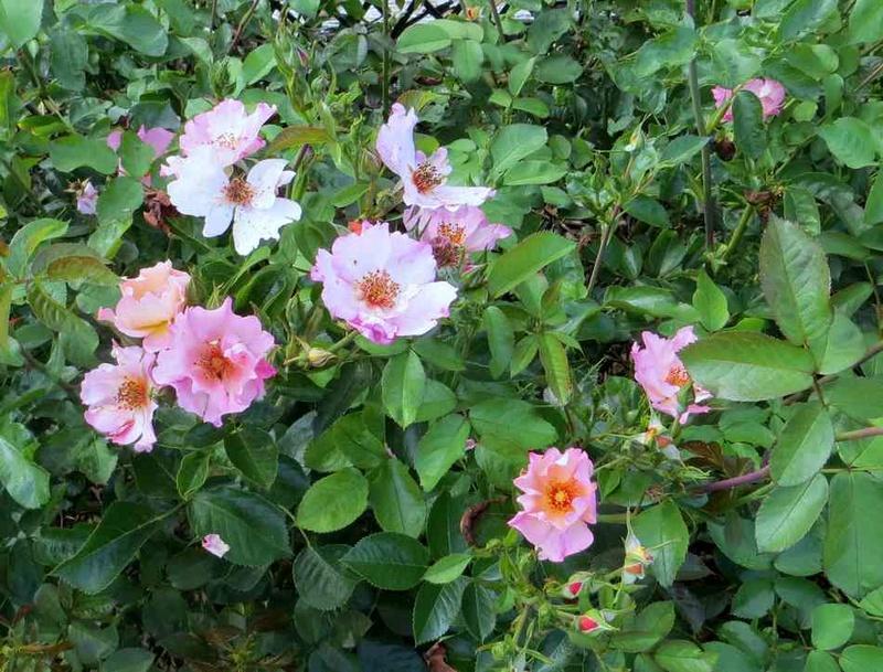 Rosa 'Yann Arthus Bertrand' !!! - Page 5 Yan_ar10