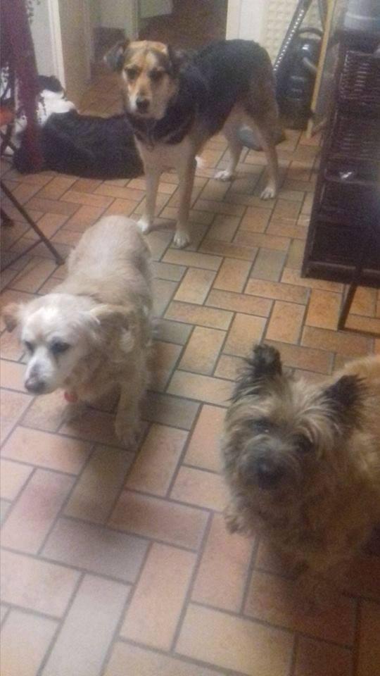 CAOLIN, mâle cairn terrier, 9 ans Caolin11