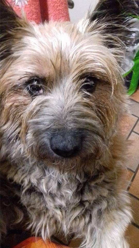 CAOLIN, mâle cairn terrier, 9 ans Caolin12