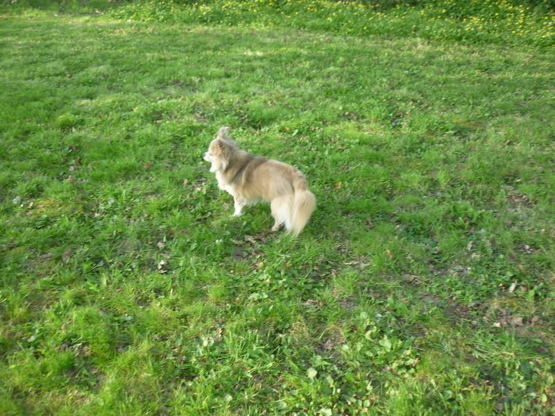 HARIBO, mâle chihuahua, 4 ans P1310122
