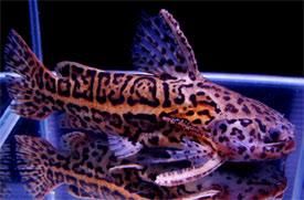 identification d'un poisson de fond Liosom10