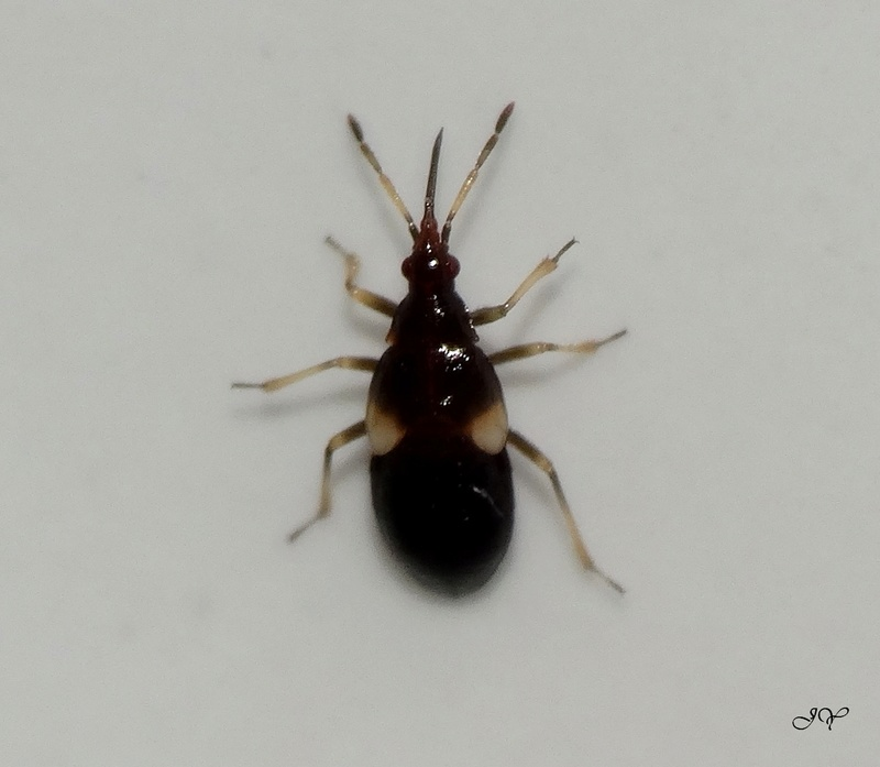 [Anthocoridae_Juvénile +++ divers] Larves pour identification. 3mmpun11