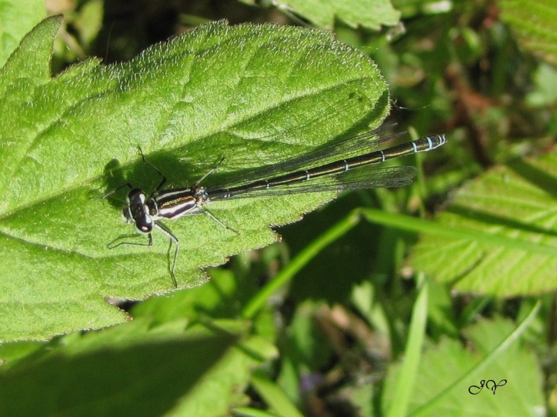 Agrion jouvencelle ? Agrion12