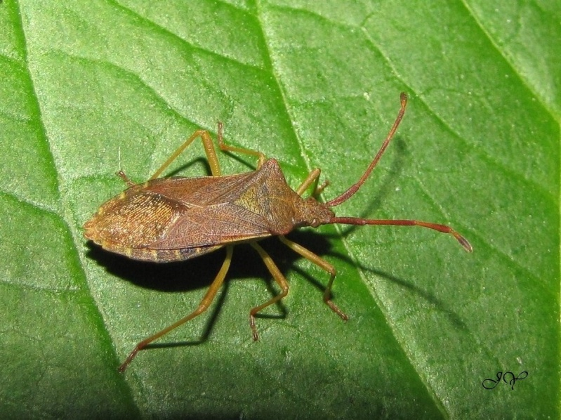 Punaise - Gonocerus acuteangulatus ? Gonoce10