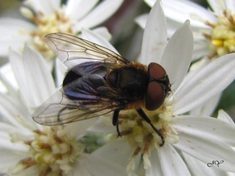 Phasia hemiptera. Phasia10