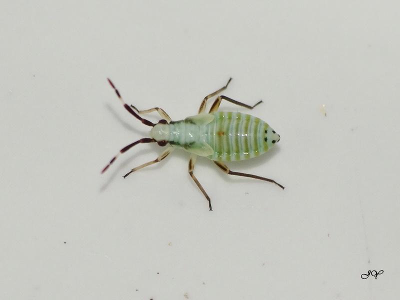 [Cyllecoris histrionius] Petite verte. Stenod10