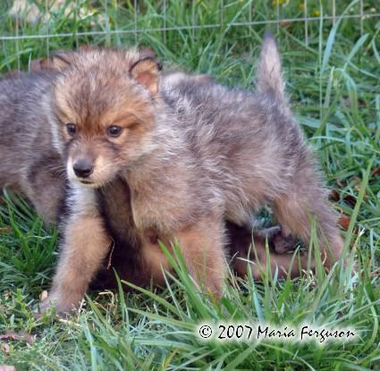 About: Wolf Development Nikoak10