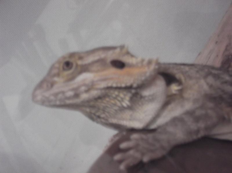 Première ponte dragon barbu =) Dscf0713