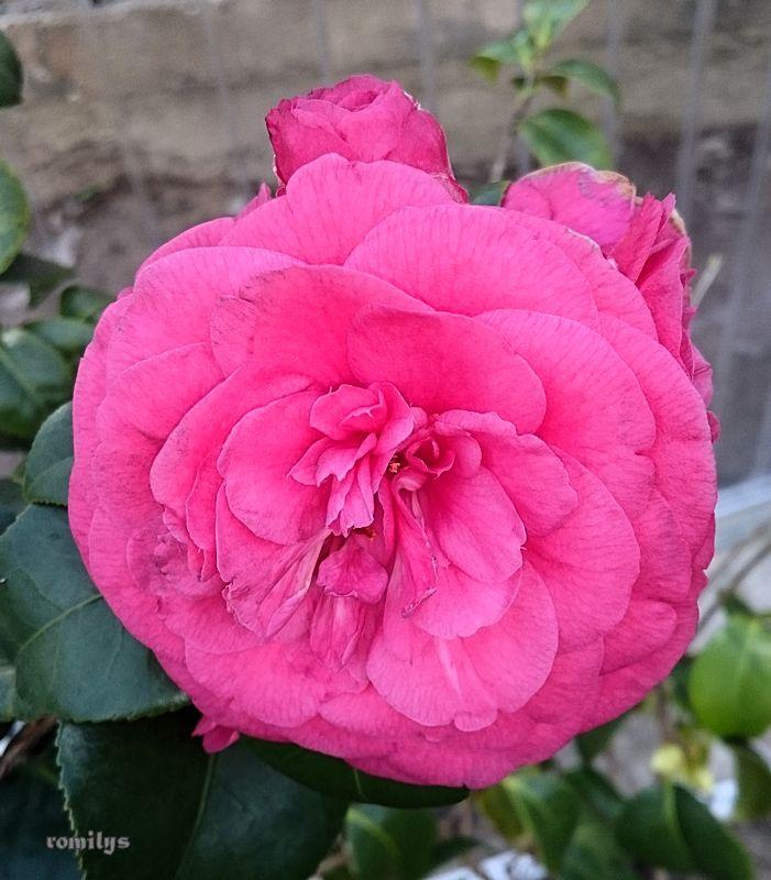 Camellia - Kamelien - Seite 3 Kameli11