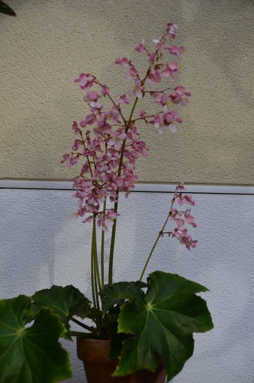 Avril, fleurs de bégonia _dsc6912
