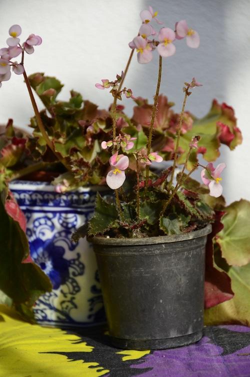 Avril, fleurs de bégonia _dsc6915