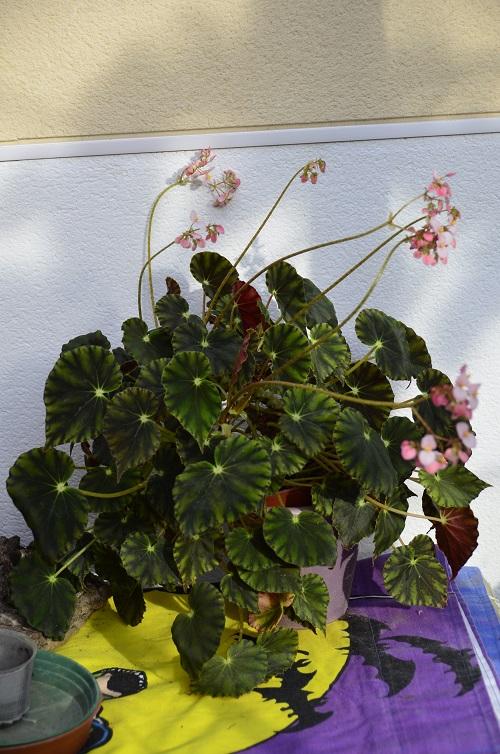 Avril, fleurs de bégonia _dsc6916