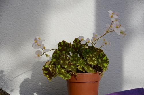Avril, fleurs de bégonia _dsc6917