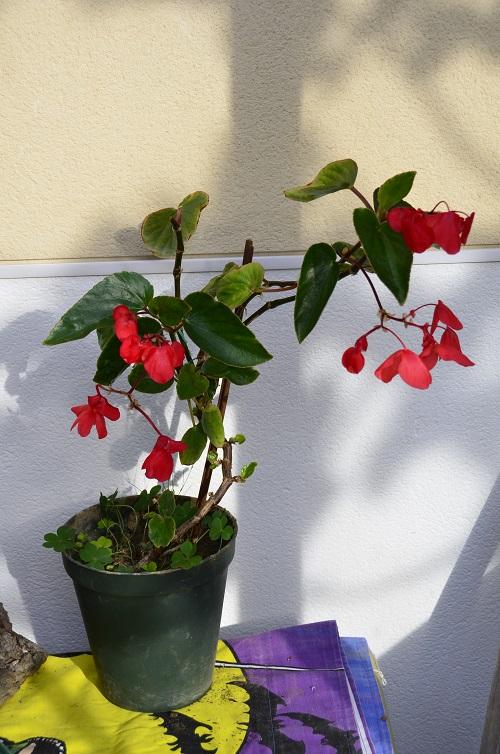 Avril, fleurs de bégonia _dsc7010